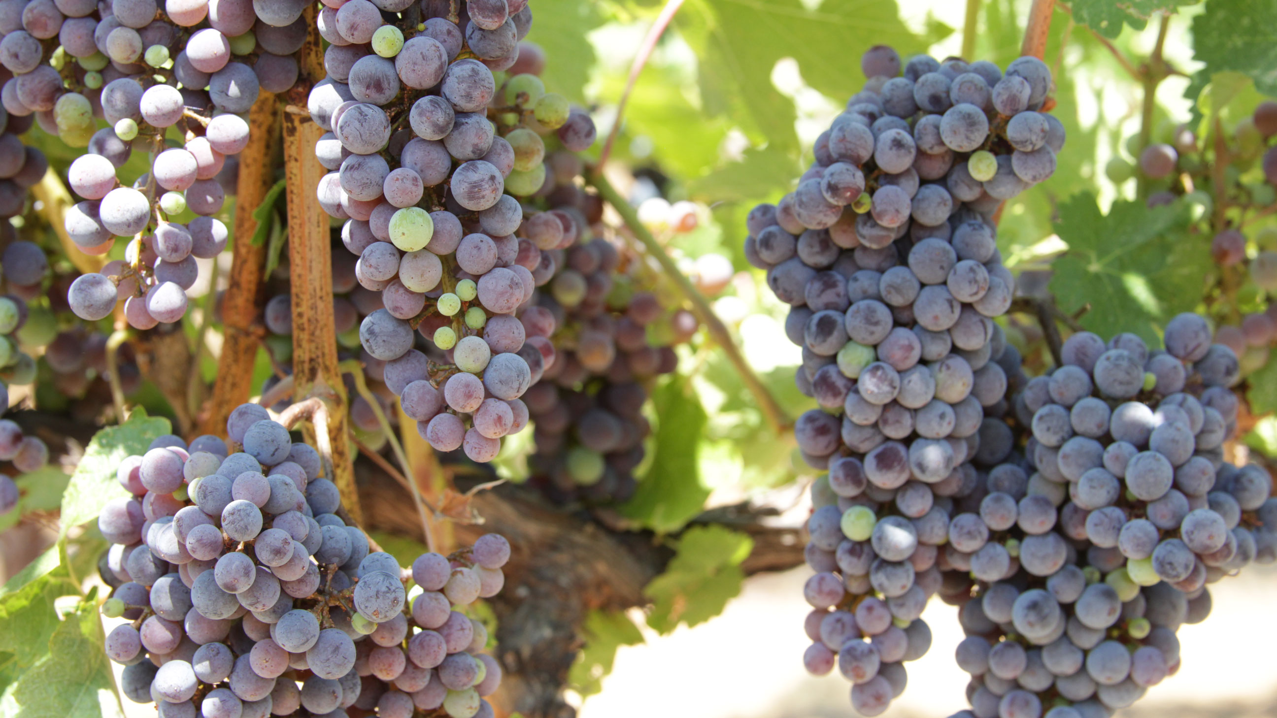 Gallo Grapes