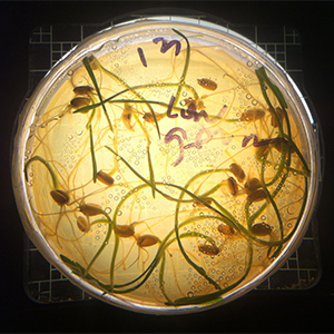wheat sprouting in a petri dish
