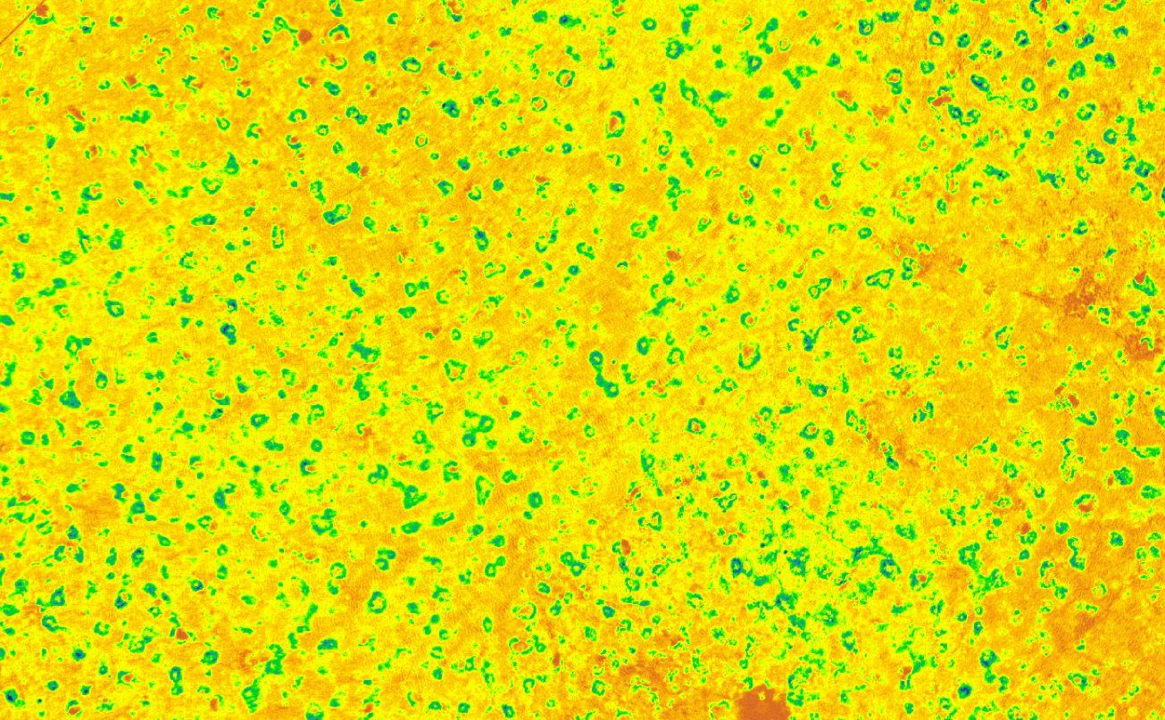 Scientific imagery (NDVI) from the UAV flights, which shows a circle of vegetation around each prairie dog burrow.
